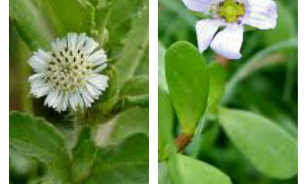 Brahmi e Bhringaraj: erbe ayurvediche contro la caduta dei capelli (e non solo)